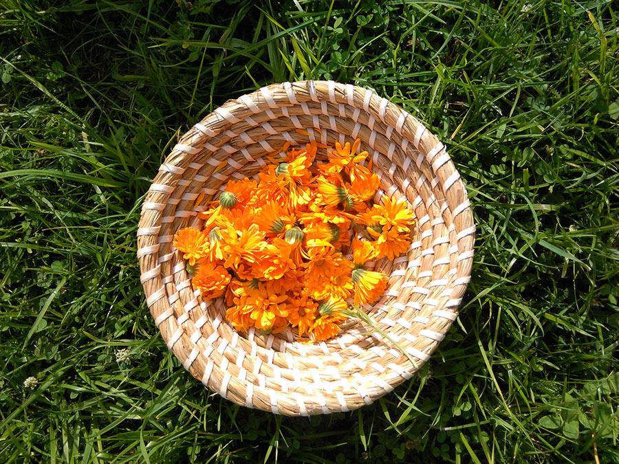 Ringelblumenblüten-Ernte